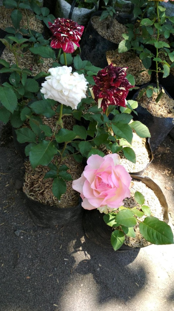 Jual Murah Bunga Mawar Warna Warni Kab Kediri Darta Home