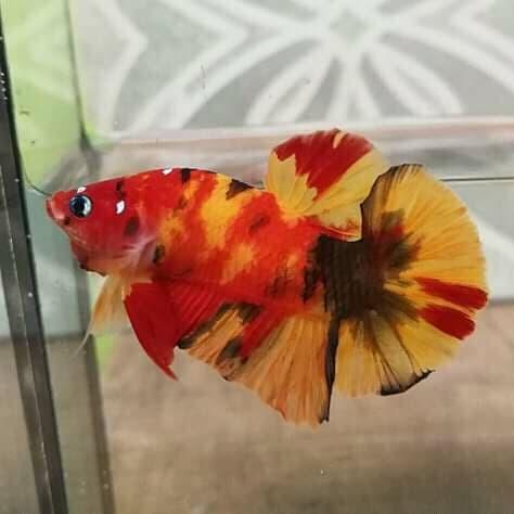 Unduh 640+ Gambar Ikan Cupang Koi HD Terbaru