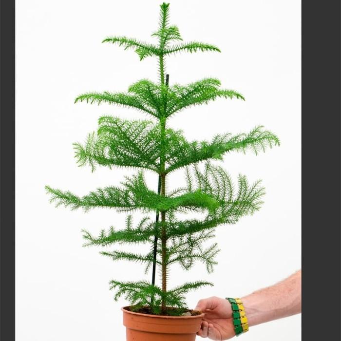 Jual Pohon Cemara Norfolk
