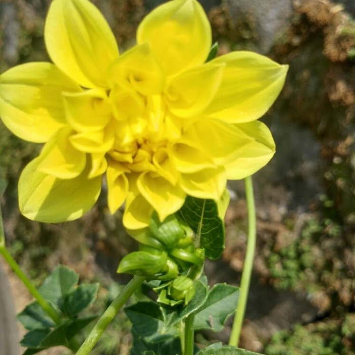 85+ Gambar Tumbuhan Bunga Dahlia