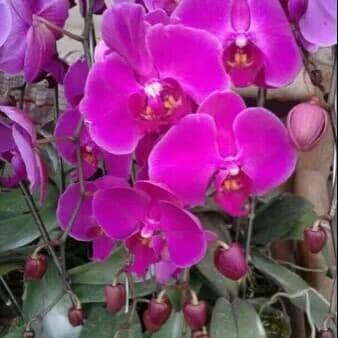 Jual Anggrek Bulan Warna Ungu Jakarta Barat Umi Ran Florist Tokopedia