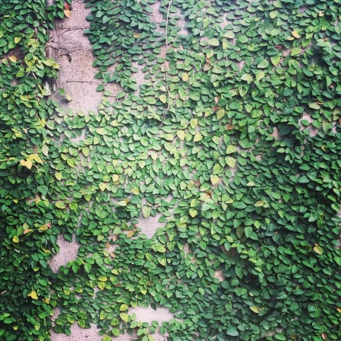 Jual Tanaman Hias Dolar Kecil Tanaman Rambat Tembok Kab Bogor