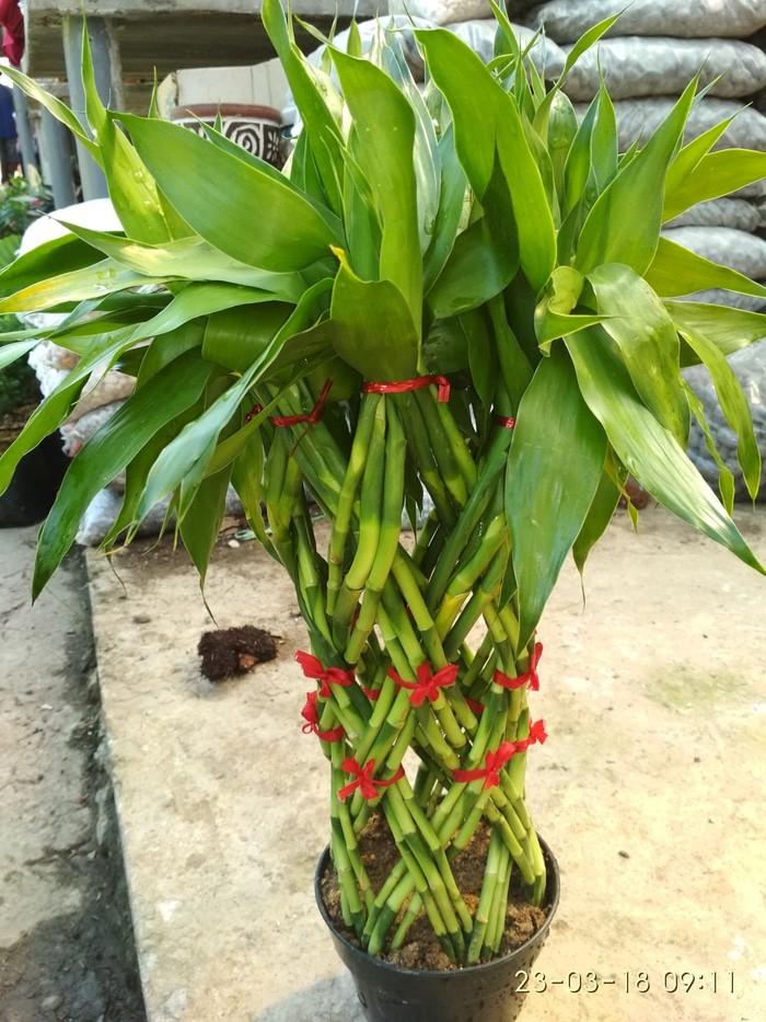 Jual Bunga Hias Bambu Sumber Rejeki Kota Batu Gorisr Tanaman Tokopedia