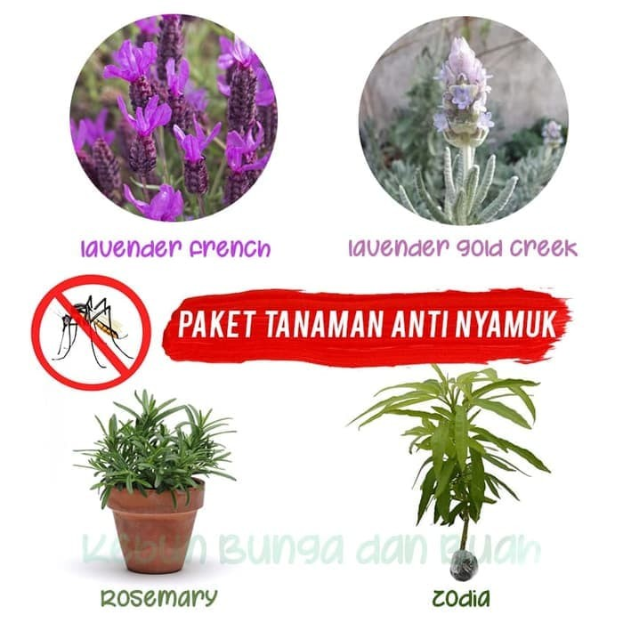 Foto Produk Paket 4 Tanaman Anti Nyamuk dari Barokah Florist Official
