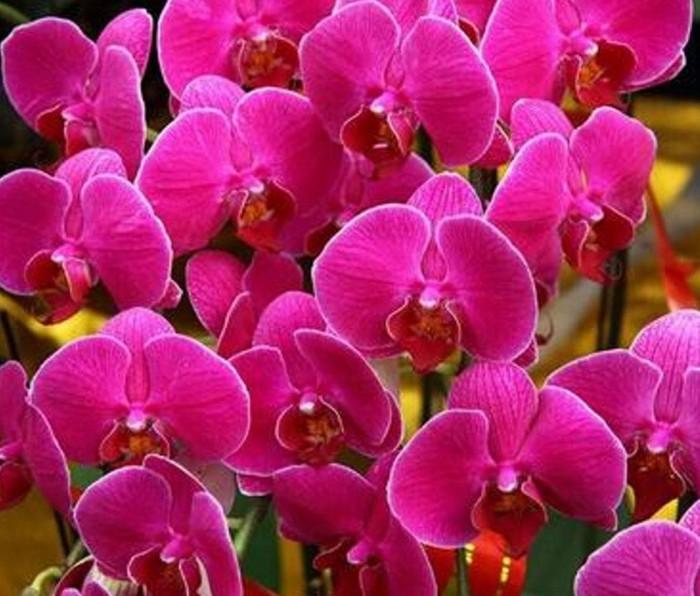 Jual Benih Bibit Biji Bunga Phalaenopsis Orchid Pink Bunga Anggrek Kab Kediri Raelpedia Tokopedia