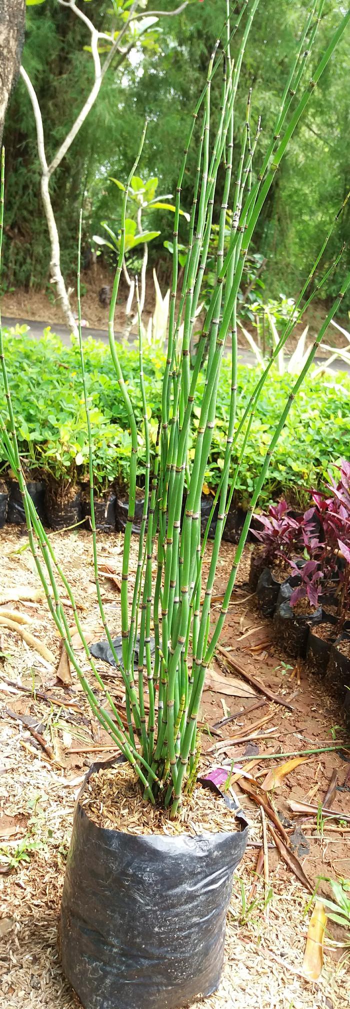 Jual Pohon Bambu Air Kota Depok Tanaman Hijau Hari