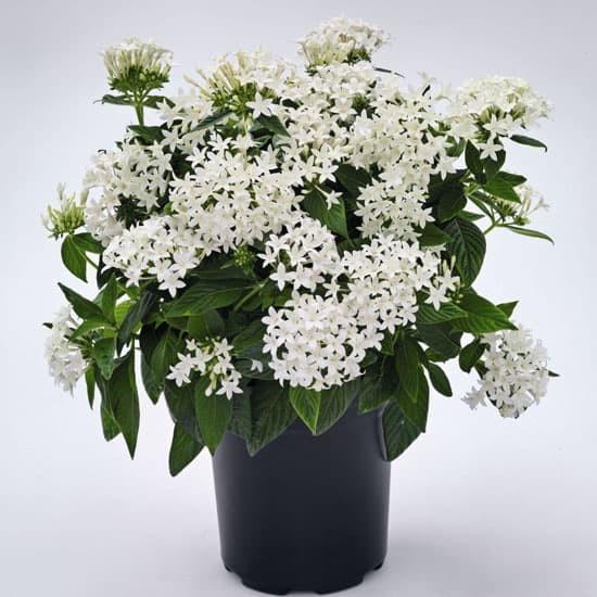 Foto Produk Tanaman hias pentas bunga putih - pentas lanceolata white dari ibad garden