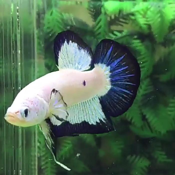 Harga Ikan Cupang Blue Rim Thailand
