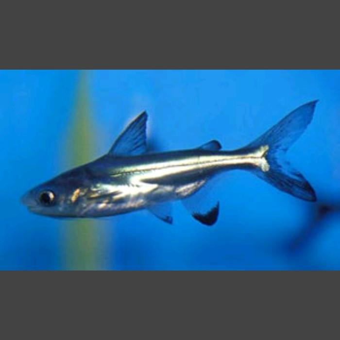 Jual Ikan Hias Genghis Khan Hiu Air Tawar Zeed Aquatic Tokopedia
