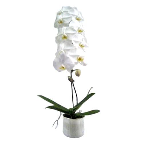 Sketsa Gambar Bunga Anggrek Hitam Putih