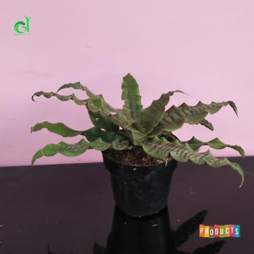 Foto Produk Tanaman hias indoor atau outdoor tahan panas cryptanthus black mystic dari ibad garden