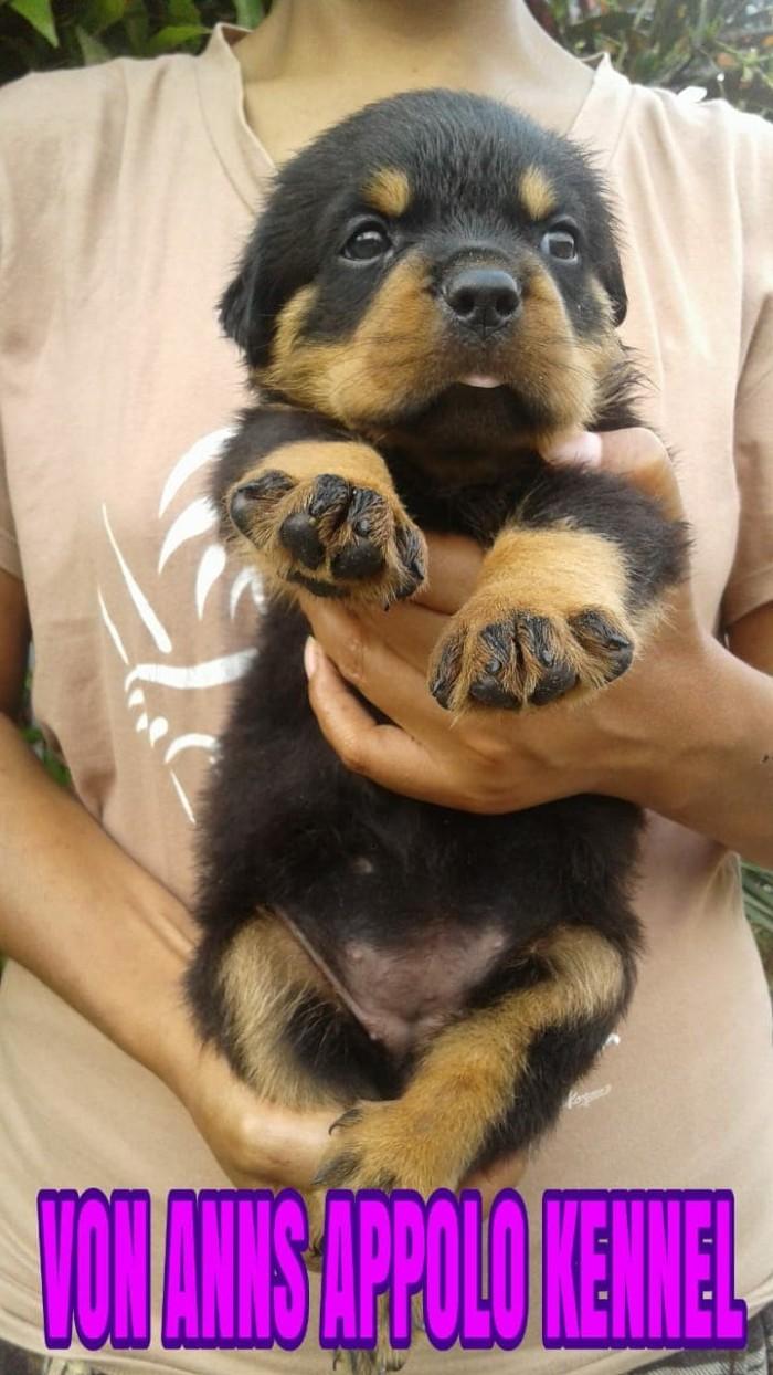 Jual Anjing Rottweiler Puppies Kota Surabaya Robyonline Tokopedia