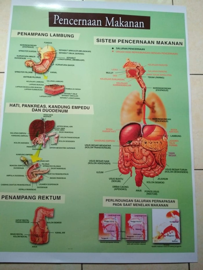Jual Gambar Sistem Pencernaan Makanan Pada Manusia Gambar Model Jakarta Timur Tokoapada Tokopedia