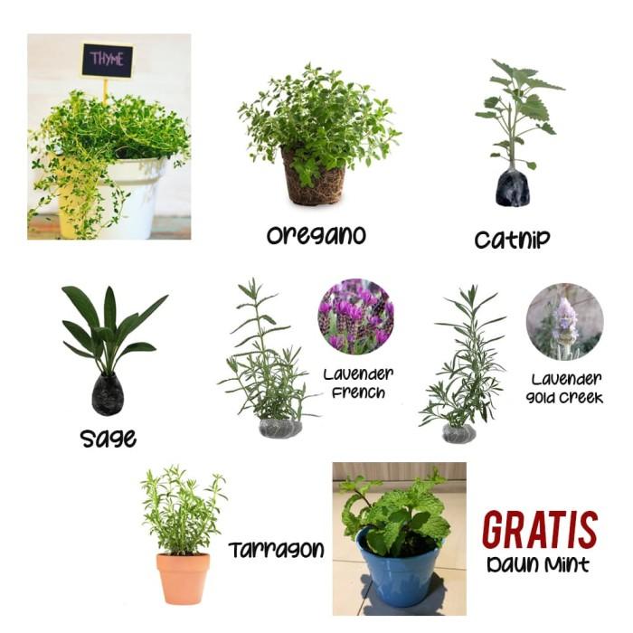 Foto Produk Paket 7 Tanaman Herbal dari Barokah Florist Official