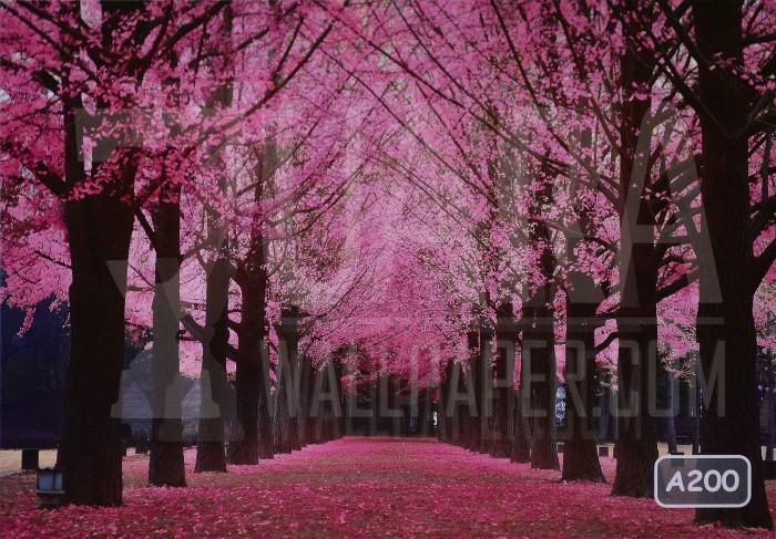 Gambar Wallpaper Wallpaper Bunga Sakura Gambar Bunga