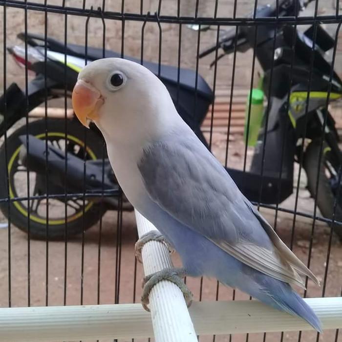 Unduh 44 Foto Gambar Burung Lovebird Pasvio HD Paling Unik Free