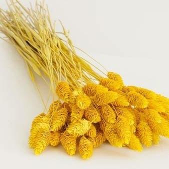 harga Import dried phalaris 10pc yellow hue bunga kering props foto Tokopedia.com