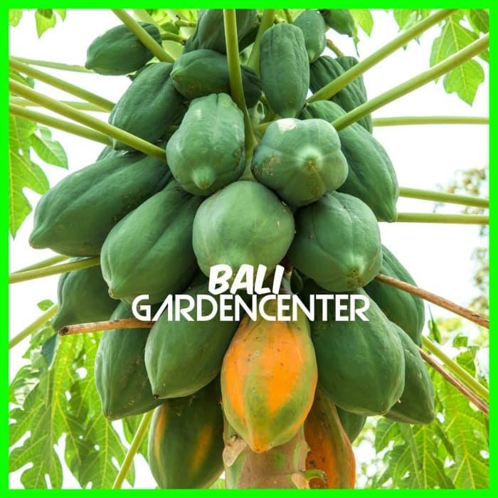 Jual Benih Biji Buah Pepaya Bangkok Thailand Kab Badung Bali Gardencenter Tokopedia