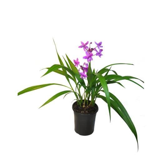 Foto Produk Tanaman hias bunga spathoglottis plicata-anggrek tanah mini bunga ungu dari ibad garden