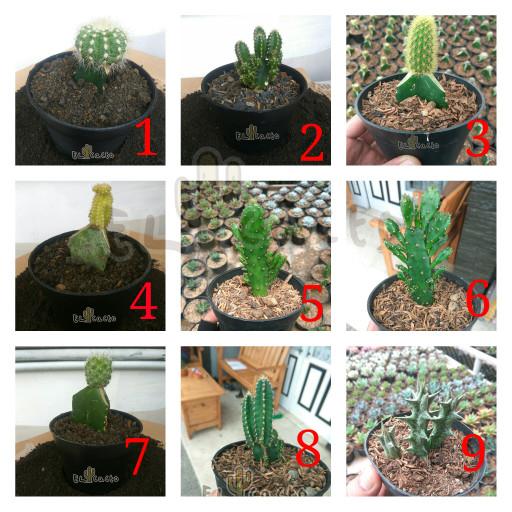 Jual Kaktus Mini Kota Bandung El Cacto Tokopedia