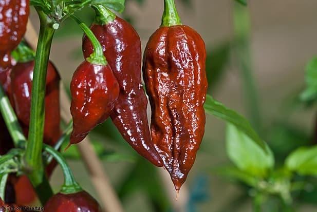 15-20 Fresh Chocolate Moruga Scorpion Hot Pepper Seeds