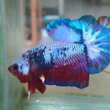 62 Gambar Ikan Cupang Fancy Terbaru Gambar Keren