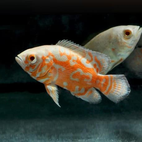 Harga Ikan Oscar DaftarHarga.Pw