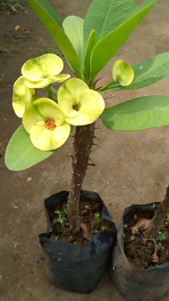 Jual Bibit Bunga Euphorbia Kota Kediri Barokahtani Sejahtera Tokopedia