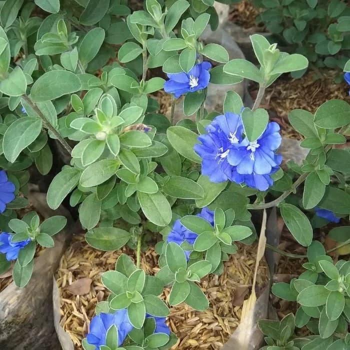 Jual Tanaman Hias Blue Eyes Permata Biru Kab Bogor Taman Indah Pesona Alam Tokopedia