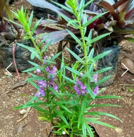 Tanaman Lavender