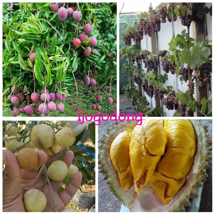 harga Paket berkebun 4 bibit mangga durian anggur kelengkeng Tokopedia.com