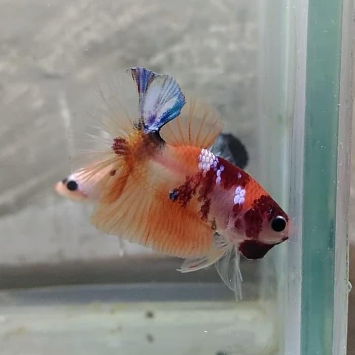 Jual Ikan Cupang Hias Emeral Nemo Male Jantan Kab Bandung Everly Store Tokopedia