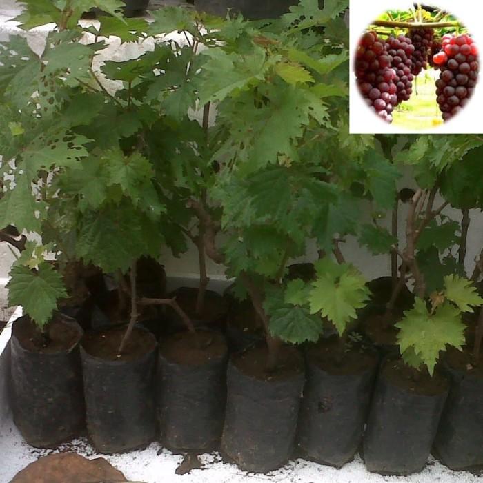 Foto Produk Bibit Anggur Merah Pohon Anggur Tanaman Anggur dari ORIGINAL FLORA