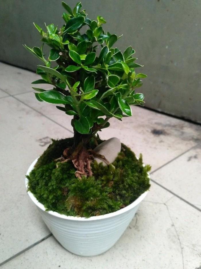 Jual Bonsai Mini Bonsai Kecil Kota Bandung Triana Wijaya Tokopedia