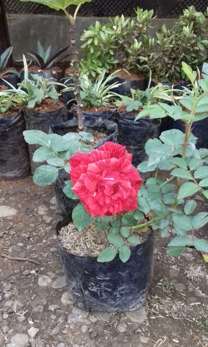 Paling Populer 21+ Bunga Mawar Di Halaman Sekolah Itu ...