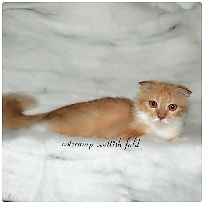 Info Kucing Scottish Fold Travelbon.com