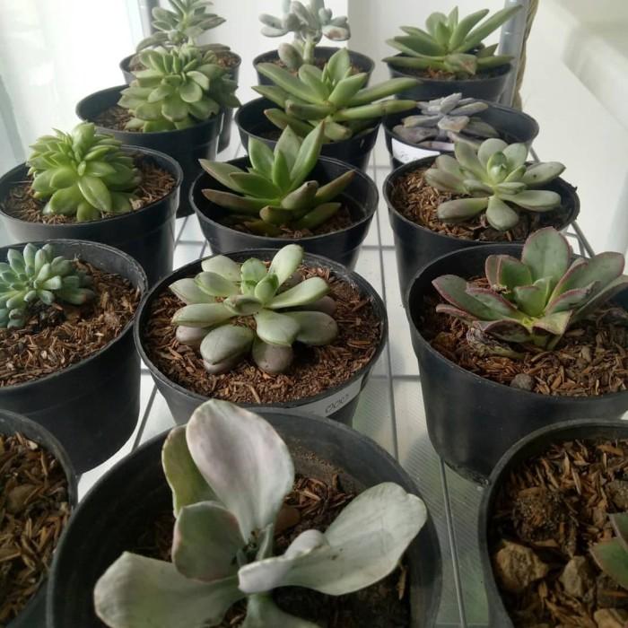 Jual Kaktus Mini Kota Denpasar Grace Rose Bali Tokopedia