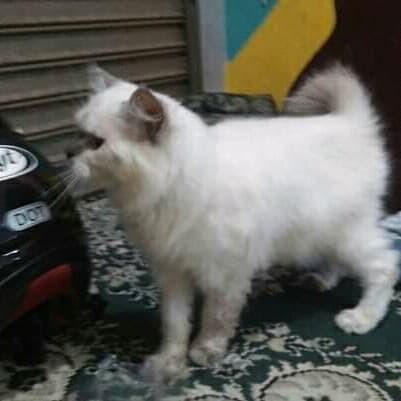 Info Kucing Himalaya DaftarHarga.Pw