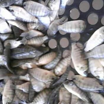 Download 44 Koleksi Gambar Jual Ikan Nila HD Terbaik