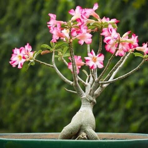 Jual Bibit Bunga Kamboja Jepang Adenium Kab Banjarnegara Chavid Farm Tokopedia
