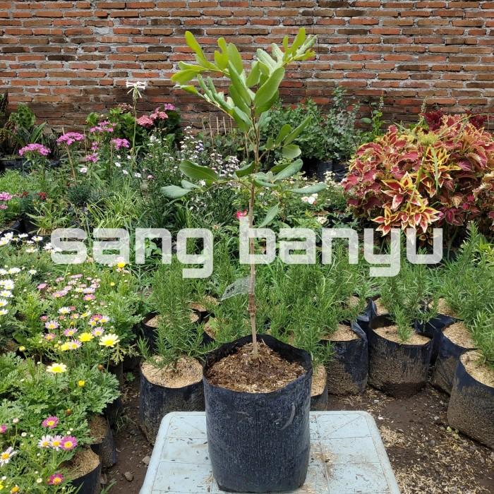 harga Bibit tanaman buah kelengkeng pimpong Tokopedia.com