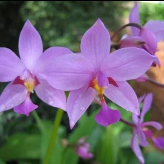 Desain Taman Anggrek Minimalis  jual tanaman hias bunga anggrek tanah ungu kab bogor taman indah pesona alam tokopedia