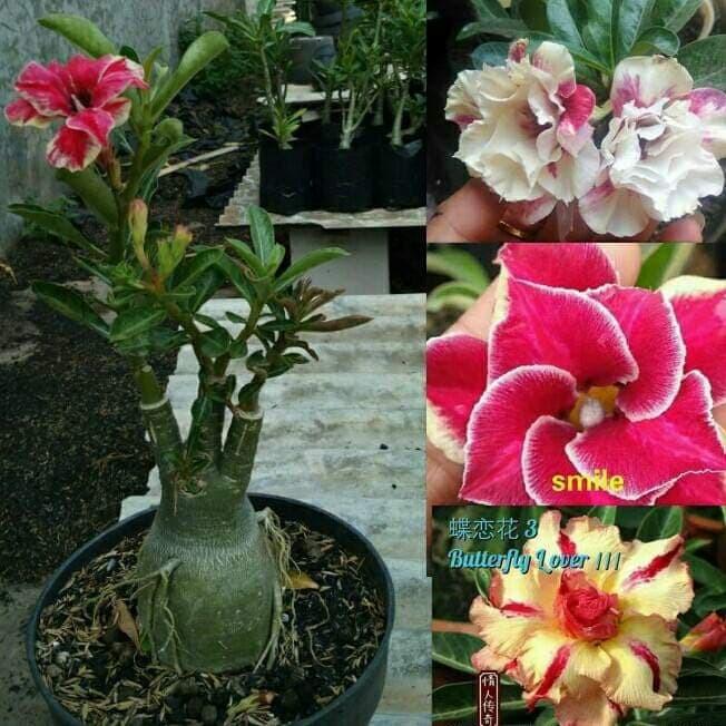 Unduh 76+ Gambar Bunga 3 Warna Paling Bagus Gratis