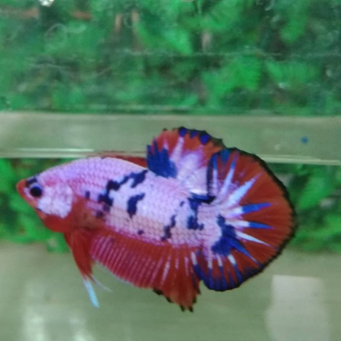 Jual Ikan Cupang Plakat Fancy Bandung Harga Murah Beli Dari Toko Online Pricearea Com