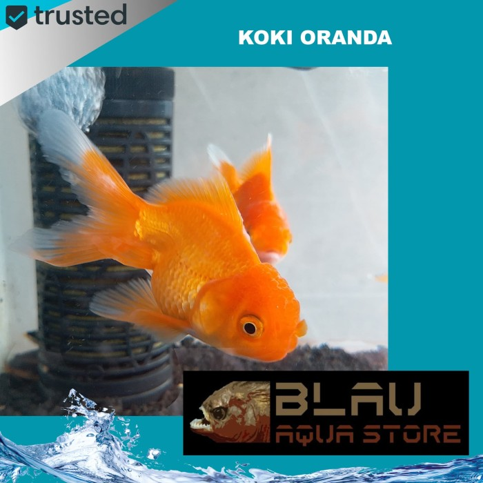Jual Ikan Mas Koki Oranda Ikan Hias Aquarium Dki Jakarta Blau Aquastore Tokopedia
