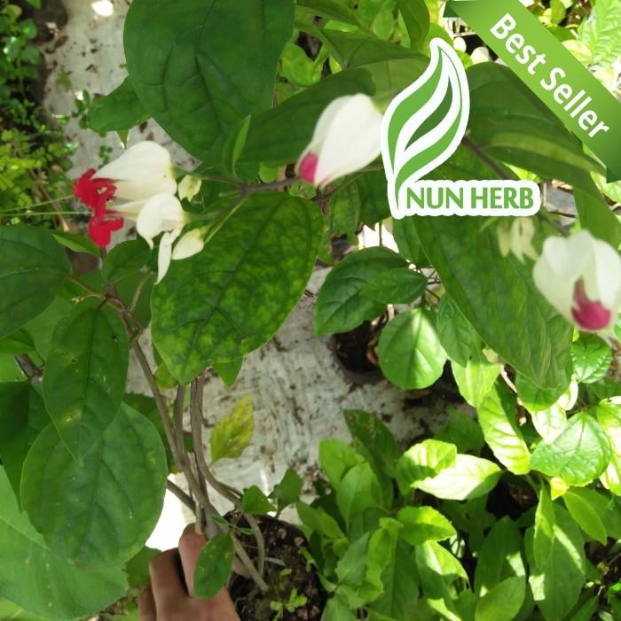 Unduh 8400 Gambar Bunga Nona Makan Sirih HD Terbaru