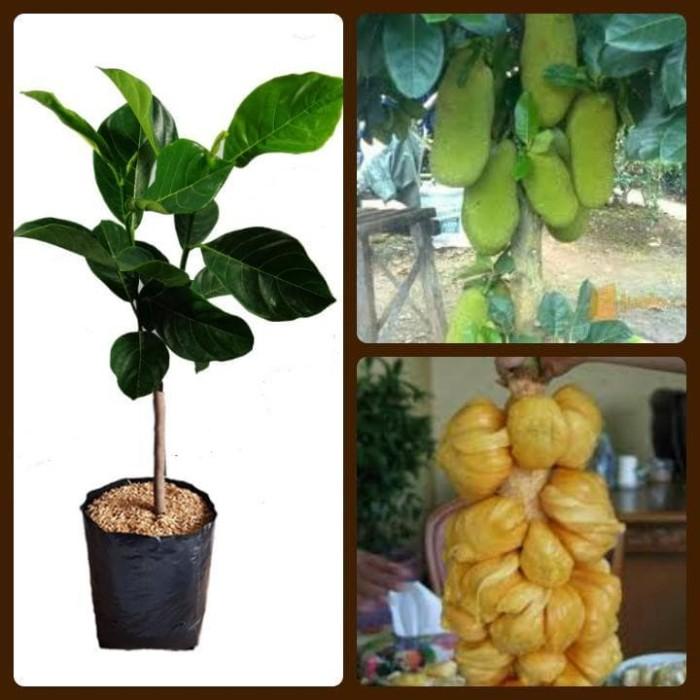 harga Bibit tanaman buah nangka cempedak nangkadak Tokopedia.com