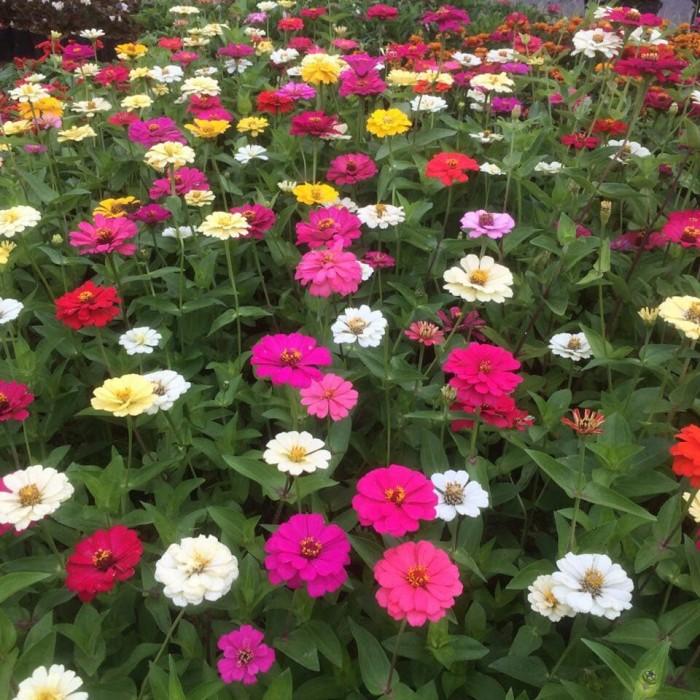 Jual Tanaman Bunga Zinnia Bunga Kertas Kab Bogor Vj Berkah