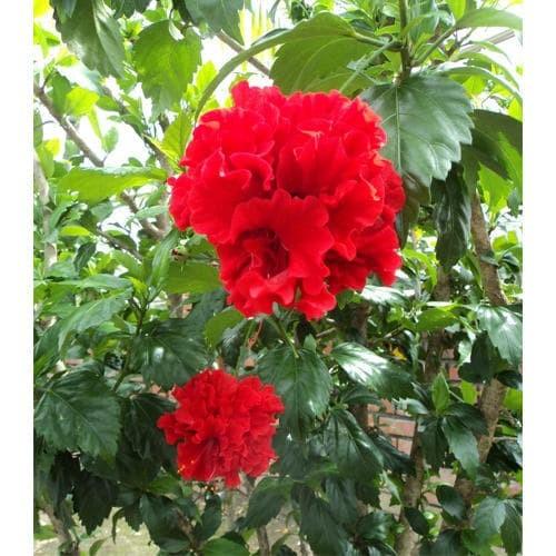 Jual Tanaman Bunga Sepatu Merah Tumpuk Kota Batu Divainayah Tokopedia