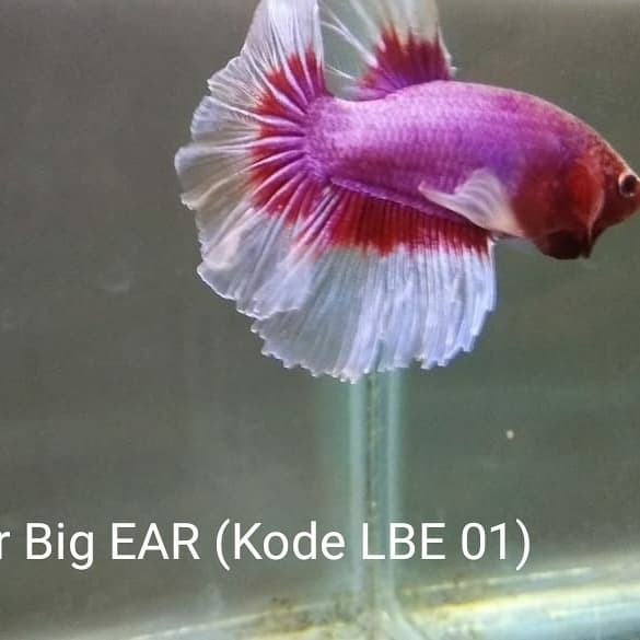 Jual Cupang Big Ear Lavender Jakarta Timur Atha Lanna Tokopedia